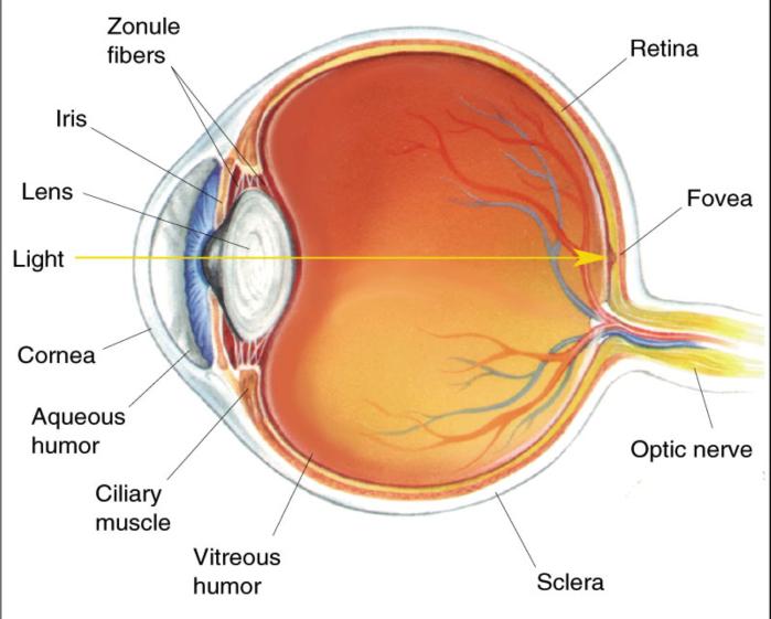 cross-section-eye